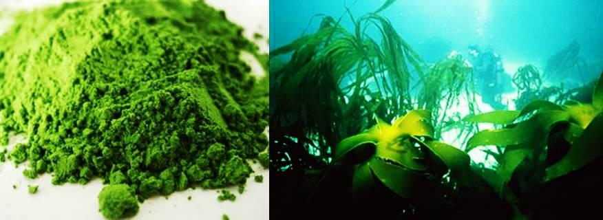 Кламатски водорасли афа